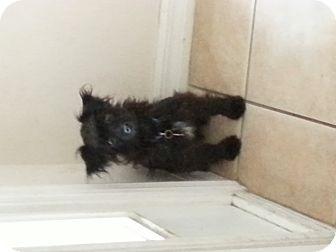 Poodle (Miniature)/Australian Shepherd Mix Dog for adoption in Oviedo, Florida - Olivia