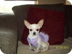 Chihuahua Mix Dog for adoption in Mesa, Arizona - Amber
