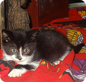 Domestic Shorthair Kitten for adoption in Tillamook, Oregon - Sashimi