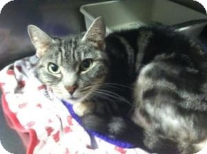 Domestic Shorthair Cat for adoption in Voorhees, New Jersey - Lexis-PetValu