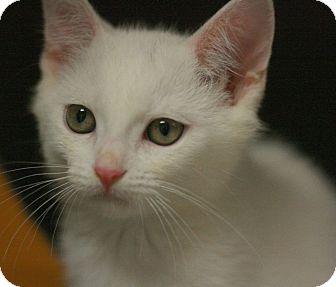Domestic Shorthair Kitten for adoption in Canoga Park, California - Adonis