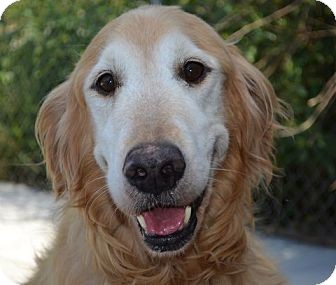 Golden Retriever Mix Dog for adoption in White River Junction, Vermont - Dusty