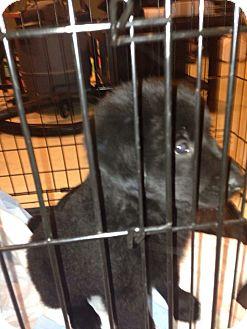 Labrador Retriever/Collie Mix Puppy for adoption in Palatine, Illinois - 3 puppies