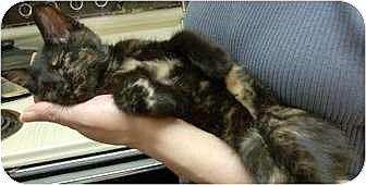 Domestic Shorthair Kitten for adoption in Vancouver, Washington - Bitsy