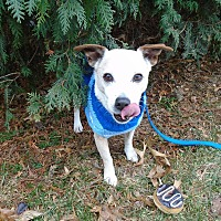 Jack Russell Terrier Dog for adoption in Blue Bell, Pennsylvania - Murphy
