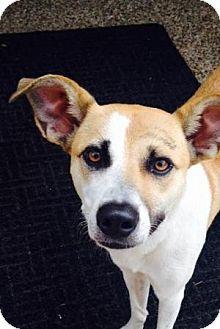 Pointer/Beagle Mix Dog for adoption in Dallas, Texas - Theadora