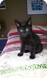 Domestic Shorthair Kitten for adoption in Nashville, Tennessee - Charly