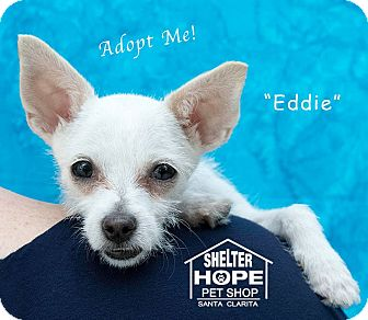 Cairn Terrier/Chihuahua Mix Puppy for adoption in Valencia, California - Eddie