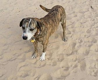 Catahoula Leopard Dog/Carolina Dog Mix Dog for adoption in San Antonio, Texas - Bonnie