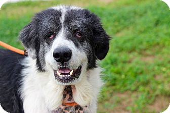 Newfoundland/Great Pyrenees Mix Dog for adoption in Pluckemin, New Jersey - Gentry