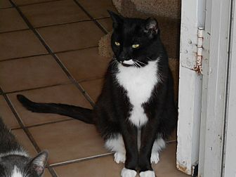 Domestic Shorthair Cat for adoption in Naples, Florida - Half-Stash