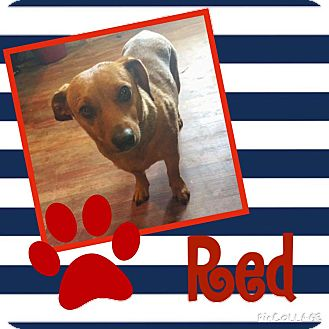 Dachshund Mix Dog for adoption in Snyder, Texas - Red