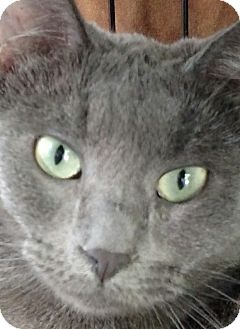 Russian Blue Cat for adoption in Yuba City, California - Rain