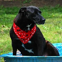 Labrador Retriever/Border Collie Mix Dog for adoption in Columbia, Tennessee - Charlie