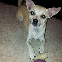 Chihuahua Mix Dog for adoption in McKinney, Texas - Twinkie