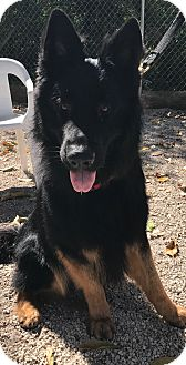 German Shepherd Dog Dog for adoption in Boca Raton, Florida - Jackson