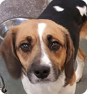 Beagle/Hound (Unknown Type) Mix Dog for adoption in Fort Smith, Arkansas - Copper