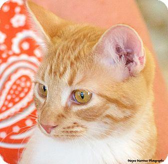 Domestic Shorthair Cat for adoption in Huntsville, Alabama - Taz