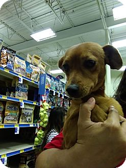 Dachshund/Chihuahua Mix Dog for adoption in Saddle Brook, New Jersey - Fritz