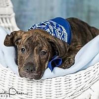 Adopt A Pet :: Jacob (puppy) - Iroquois, IL