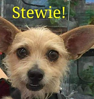 Terrier (Unknown Type, Small) Mix Dog for adoption in Las Vegas, Nevada - Stewart