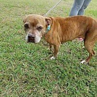 Boxer/American Staffordshire Terrier Mix Dog for adoption in Whitestone, New York - Dakota