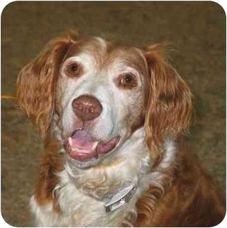 Brittany/Spaniel (Unknown Type) Mix Dog for adoption in Seattle c/o Kingston 98346/ Washington State, Washington - Jack