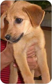 Labrador Retriever/German Shepherd Dog Mix Puppy for adoption in Coral Springs, Florida - Precious
