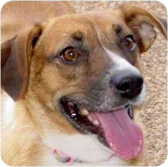 Beagle/Labrador Retriever Mix Dog for adoption in Olive Branch, Mississippi - Brownee