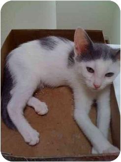Domestic Shorthair Kitten for adoption in Houston, Texas - Beret
