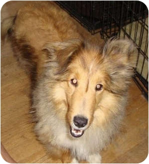 Sheltie, Shetland Sheepdog Dog for adoption in Leesport, Pennsylvania - Sandie is a sweetheart!