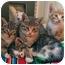 Photo 3 - Domestic Shorthair Kitten for adoption in Marseilles, Illinois - Nicole