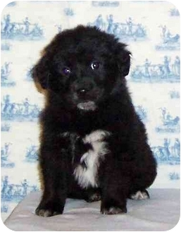 Spaniel (Unknown Type)/Shar Pei Mix Puppy for adoption in Pennington Gap, Virginia - Fuzziwuzzi