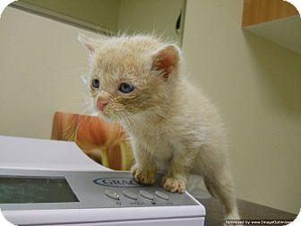 Domestic Shorthair Kitten for adoption in Morden, Manitoba - Keta