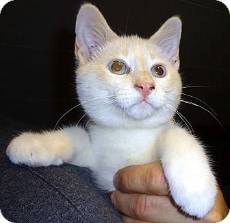 Siamese Kitten for adoption in Saint Albans, West Virginia - Marcus
