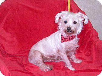 """Maltese Mix Dog for adoption in New Castle, Pennsylvania - """" Moby """""""