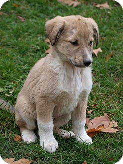 Labrador Retriever/Collie Mix Puppy for adoption in Toronto/Etobicoke/GTA, Ontario - Baker <b>ADOPTED!!!</b>