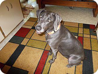 Weimaraner Dog for adoption in Grand Haven, Michigan - Bailey