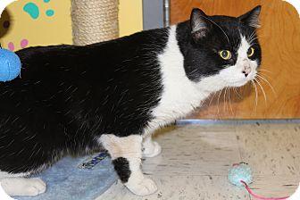 Domestic Shorthair Cat for adoption in HARRISONVILLE, Missouri - MO