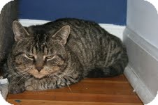 Domestic Shorthair Cat for adoption in Chicago, Illinois - Oates