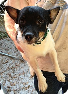 Chihuahua/Corgi Mix Dog for adoption in Gainesville, Florida - Snoopy