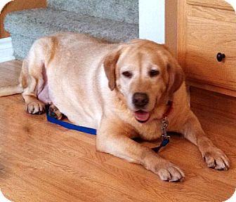 Labrador Retriever Dog for adoption in Howell, Michigan - Minnie