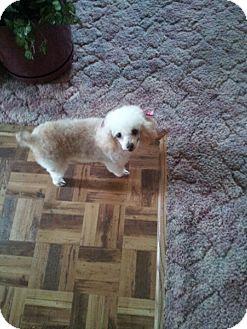 Poodle (Miniature) Dog for adoption in Algonquin, Illinois - Darla