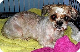Shih Tzu Mix Dog for adoption in New Freedom, Pennsylvania - Trudy