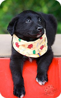 Australian Shepherd/Labrador Retriever Mix Puppy for adoption in Biddeford, Maine - Brewster