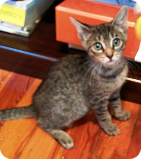 Domestic Shorthair Kitten for adoption in Turnersville, New Jersey - Philippe