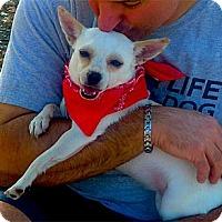 Adopt A Pet :: Princess Penny lapdog - Sacramento, CA