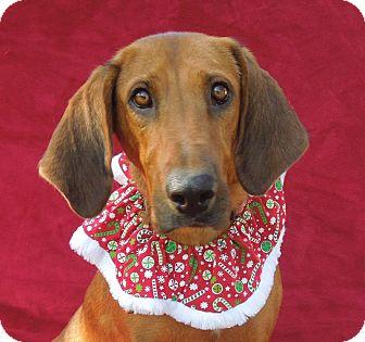Redbone Coonhound Dog for adoption in Charlotte, North Carolina - Rhetta