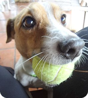 Jack Russell Terrier Dog for adoption in Miami, Florida - Bennie
