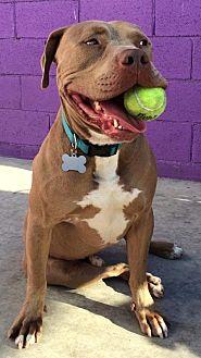 Pit Bull Terrier Mix Dog for adoption in Rancho Santa Margarita, California - ZZ - Tank **Courtesy Post